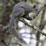 DSC_9809 Grey Squirrel